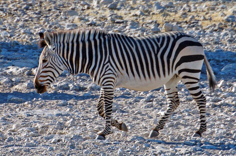 Hartmann's Zebra (Equus zebra)
