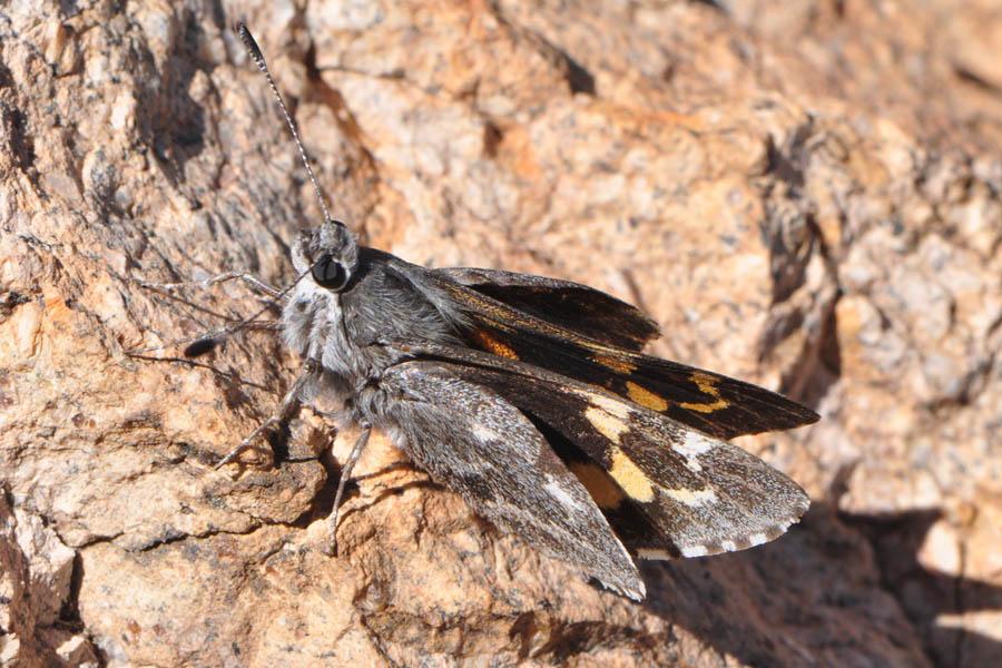 Sưu tập Bộ cánh vẩy 2 - Page 27 Chisos.giant.skipper.agathymus.chisosensis.tx.brewster.14.1.0193