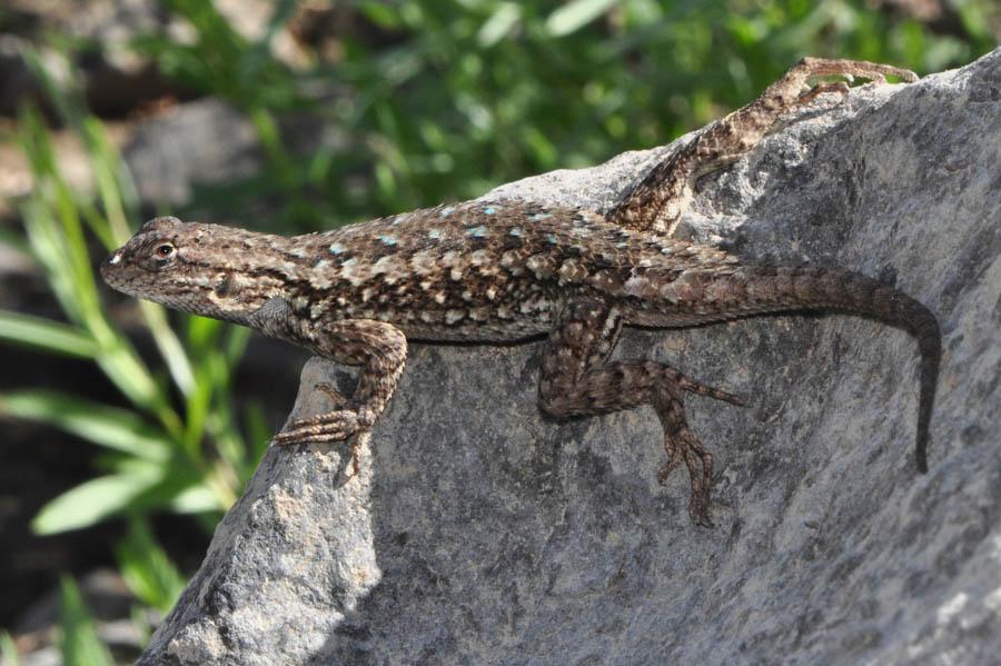 Western Fence Lizard Sceloporus Occidentalis