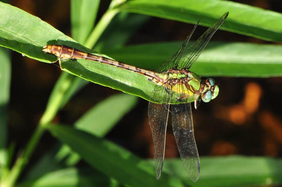 Acuminate Snaketail (O...