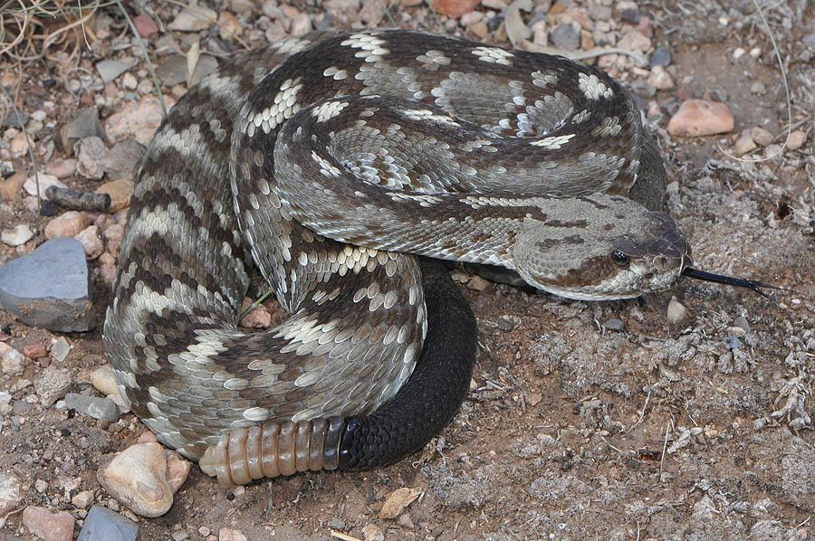 Black Tailed Rattlesnake Crotalus Molossus