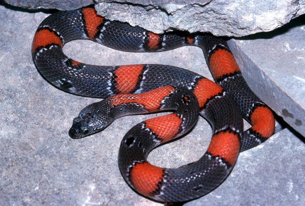 красно черная змея фото