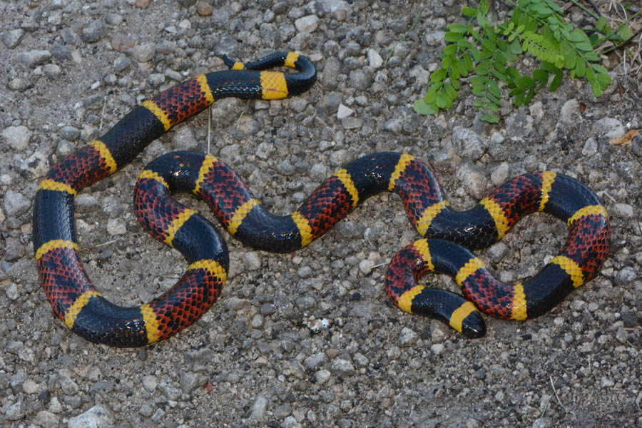 What does a texas coral snake look like