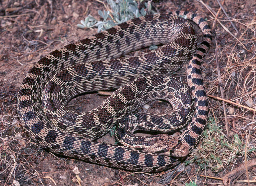 Nebraska Snake Identification http://www.thehibbitts.net/troy/photo ...