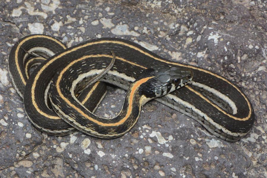 Black-necked Gartersnake (Thamnophis cyrtopsis)